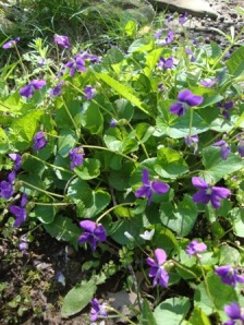 Wild violets in spring