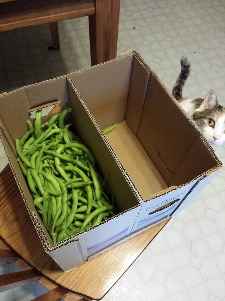 cat looking into a box of green beans